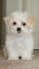 View Ad Mal Shi Shih Tzu Mix Puppy For Sale Near Texas Irving Usa