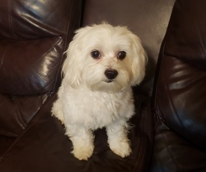 Mother of the Maltese puppies born on 12/10/2020