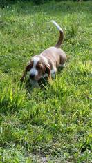Basset Hound Puppy for sale in BRANCHPORT, NY, USA
