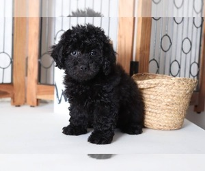 View Ad: Cock-A-Poo Puppy for Sale near Florida, NAPLES, USA