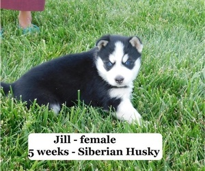 Siberian Husky Puppy for Sale in CLARKRANGE, Tennessee USA