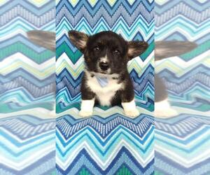Pembroke Welsh Corgi Puppy for sale in LANCASTER, PA, USA