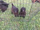 Poodle (Standard) Puppy For Sale in SHELBYVILLE, Kentucky,