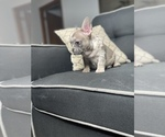 Puppy 8 French Bulldog