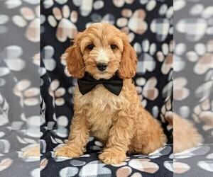 Medium Cocker Spaniel-Poodle (Miniature) Mix