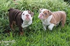 English Bulldog Puppy For Sale in TAMPA, FL, USA