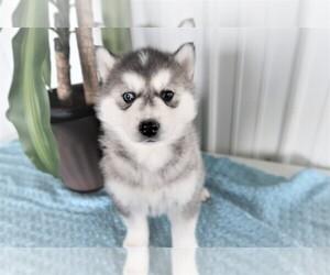Siberian Husky Dog for Adoption in KALAMAZOO, Michigan USA