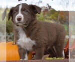 Small #3 Collie