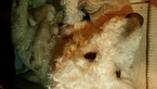 Goldendoodle Puppy For Sale in NORTH ANDOVER, MA, USA