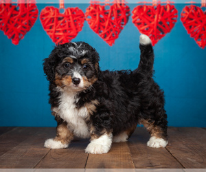 Miniature Bernedoodle Puppy for Sale in ADDISON, Michigan USA