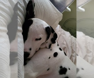 Dalmatian Puppy for sale in SILVER LAKE, NY, USA