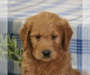 Goldendoodle Puppy for sale in PARKESBURG, PA, USA