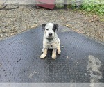Puppy 4 Australian Cattle Dog