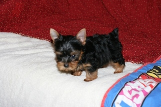 Yorkshire Terrier Puppy for sale in ELLIJAY, GA, USA
