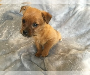 ShiChi-Yorkshire Terrier Mix Puppy for sale in MANKATO, MN, USA