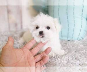 Maltese Puppy for Sale in FULLERTON, California USA