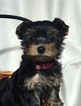 Yorkshire Terrier Puppy For Sale in BIG LAKE, MN, USA