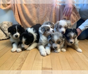 Australian Shepherd Puppy for Sale in MANCHESTER, New Hampshire USA