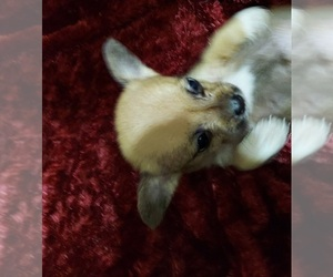 ShiChi Puppy for sale in CLINTON, AR, USA