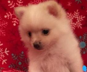 Pomeranian Puppy For Sale near 30152, Kennesaw, GA, USA