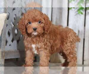 Cock-A-Poo Puppy for sale in MOUNT VERNON, OH, USA