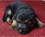 Small Photo #3 German Shepherd Dog Puppy For Sale in DELAVAN, IL, USA