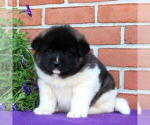 Akita Puppy For Sale in DRUMORE, PA, USA