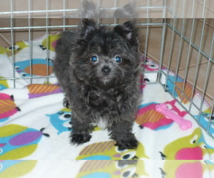 Yoranian Puppy for Sale in ORO VALLEY, Arizona USA