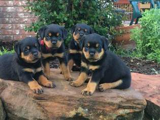 Rottweiler Puppy For Sale in JASPER, MO, USA