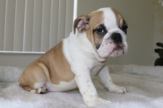 English Bulldog Puppy For Sale in DANIA, FL, USA