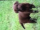 Labrador Retriever Puppy For Sale in GAINESVILLE, TX