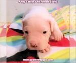 Small #29 Dogo Argentino