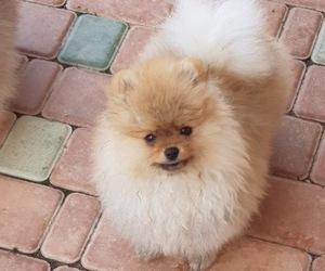Pomeranian Puppy for sale in SHERMAN OAKS, CA, USA