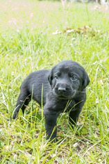 Labrador Retriever Puppy For Sale in MAGNOLIA, TX, USA
