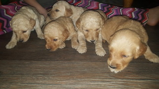 Goldendoodle Puppy For Sale in GIPSY, MO