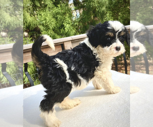 Aussie-Poo Puppy for sale in CHATHAM, PA, USA
