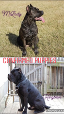 Beautiful Cane Corso pups FOR SALE