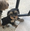Yorkshire Terrier Puppy For Sale in MAPLE SHADE, NJ, USA