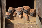 Beautiful Boerboel pups