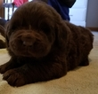Newfoundland Puppy For Sale in RAPID CITY, SD,