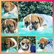English Bulldog Puppy For Sale in ARLETA, CA, USA