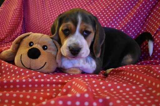 Medium Photo #7 Beagle Puppy For Sale in REASNOR, IA, USA