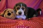 Small Photo #7 Beagle Puppy For Sale in REASNOR, IA, USA