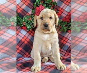 Labrador Retriever Puppy for sale in CHRISTIANA, PA, USA