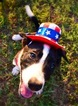 Border Collie Puppy For Sale in BRISTOW, OK,