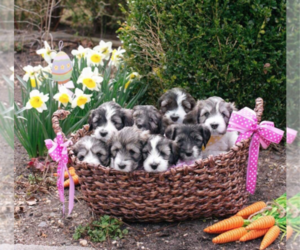 Polish Lowland Sheepdog Puppy for sale in BARNEGAT, NJ, USA