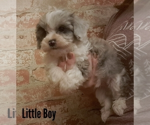 Havanese Puppy for sale in WOOSTER, OH, USA