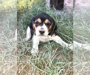 Beagle Puppy for Sale in LINCOLN, Texas USA