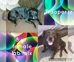 Small #11 Labrador Retriever Mix