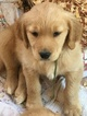 Golden Retriever Puppy For Sale in PELHAM, AL, USA